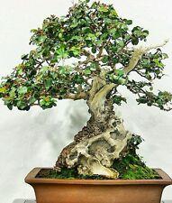 Árbol de Algarrobo Comestible! haz tu propia Chocolate!! Semillas Frescas Ideal Como Bonsai árbol!
