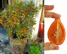 'Mandarinquat' Citrus (reticulata x fortunella) beautiful and Edible! SEEDS.