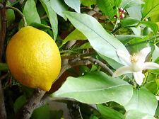 Meyer Dwarf Lemon Tree (2 Trees) Make Your Own Lemonade Full Size Fruit