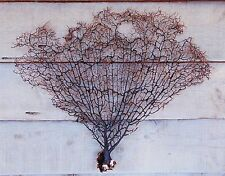 """BF1) Natural, Large BLACK SEA FAN 21"""" X 17"""" Seafan Gorgonian Soft Coral in USA"""
