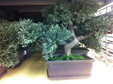 "New 9"" Artificial Faux Japanese Ceder Bonsai Tree with Branches Can Repositioned"