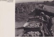 1950  --  LES VENDANGES DE RIESLING A RIQUEWIHR   3D795