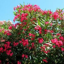 Vivid Red Oleander Seeds Direct from the Grower Buy 1 Get 1 Free + Free Shipping