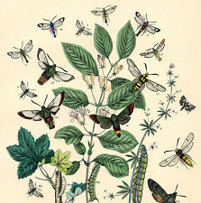 Histoire Naturelle Botanique Bouquet Papillon Fleurs Groseillier Gravure 19e