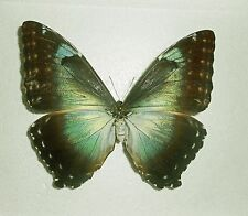 MORPHO CISSEIS PHANODEMUS *female blue form phanodemus* PERU