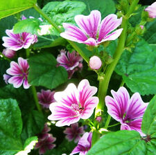 30 China Mallow Seeds Malvaceae Malva Sylvestris Ornamental Garden Flowers