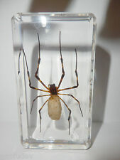 Insect Specimen - Golden Silk Spider (Argiope ocula) in Clear paperweight