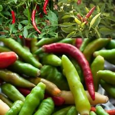 110 SEEDS OF THAI BIRDS EYE CHILLI PEPPER VERY HOT SEED FREE ship