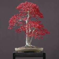 Maple Tree American deep red Bonsai Seeds- AUS STOCK FREE SHIPPING