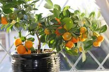 Minneola Tangelo Tree Seeds-Minnelos- MEDICINAL BENEFITS - RARE CITRUS- 10 Seeds
