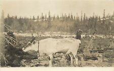 c1910 RRPC Postcard; Reindeer Cow with Bell, Man with Herd, Alaska AK Unposted