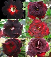 "NEW! ADENIUM BLACK ""Mixed 6 Type"" 6 GRAFTED PLANT FRESH!"