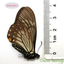 5 unmounted butterfly papilionidae chilasa epycides GUANGXI A1 A1-
