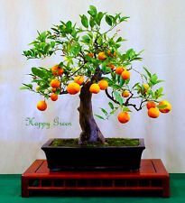 JAPANESE ORANGE - Flying Dragon - Poncirus trifoliata - 15 seeds Bonsai