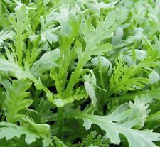 Chopsuey Greens Shungiku appx 1,200 seeds - Oriental Vegetable