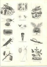 1854 grabados manchado saltamontes Cricket cochinilla Carpintero Wasp