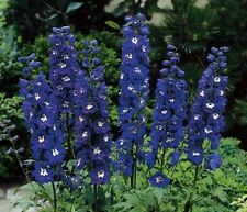 DELPHINIUM DWARF - MAGIC FOUNTAIN SERIES - DARK BLUE WITH WHITE BEE - 50 SEEDS