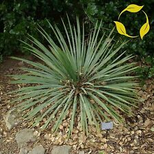 SOAP WEED Yucca Glauca - 25+ SEEDS