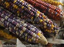 WAMPUM bunter Indianer-Mais * zum kochen und grillen * 6 Samen * SEHR SELTEN