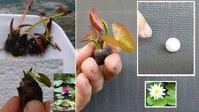 Seerosen Set + Dünger Blühpflanzen blühende Pflanze für drinnen Geschenke Frauen