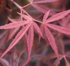 20 RED SPIDER JAPANESE MAPLE SEEDS - Acer palmatum 'Red Spider'