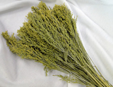 NATURAL CANARY SEED GRASS RED SWITCH FLORAL FOLIAGE FLOWER STEMS