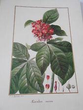 Planche Redouté Aesculus coccinea botanique