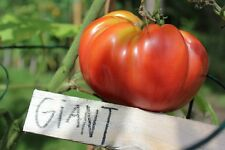GIANT Tomato Seeds - 20 Seeds only