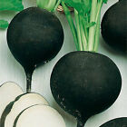 RADISH 'Black Spanish Round' 30 seeds Organic Heirloom vegetable garden