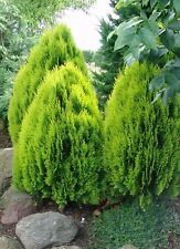 25 Semillas- Tuya - THUJA ORIENTALIS - Arbusto - Jardín -- Seeds Samen Semi
