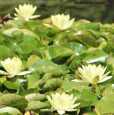 gelbe Seerosen Samen / winterharte Wasserpflanzen Schwimmpflanzen für den Teich