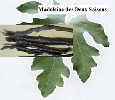Madeleine des Deux Saisons fig tree/plant-3 cuttings- French variety-last few