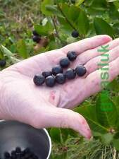 ARONIA MELANOCARPA BLACK CHOKEBERRY 40 SEEDS NON GMO FREE FRUIT SAMPLE 95% GERM.