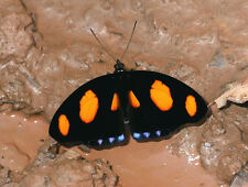 ONE REAL BUTTERFLY ORANGE BLUE CATONEPHELE SHOEMAKER UNMOUNTED WINGS CLOSED