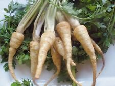 HERB  PARSLEY HAMBURG (ROOT)  5 GRAM ~ 3750  SEEDS