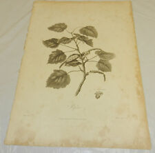 """1808 Antique Botanical Print/POPULAR TREE LEAVES AND BRANCHES/13x19"""""""