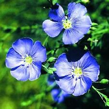 BLUE FLAX FLOWER SEEDS  *****