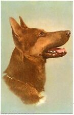 PORTRAIT DE CHIEN. BERGER ALLEMAND. GERMAN SHEPHERD  DOG.
