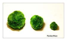 8+ 1 Free Giant Marimo moss balls - Cladophora - Live aquarium plants. shrimps