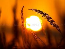 PHOTO COMPOSITION SUNSET WHAET FILED CROP GRAIN SUN LIGHT POSTER PRINT BMP10586