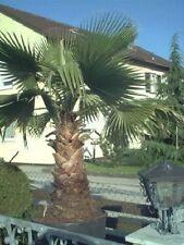 Winterharte Riesen-Palme Washingtonia filifera / Samen /super Weihnachtsgeschenk