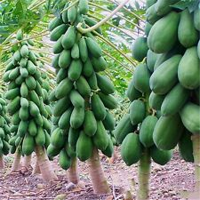 8Pcs Home Garden Maradol Papaya Seeds Outdoor Vegetable Fruit Tree Plants Seeds