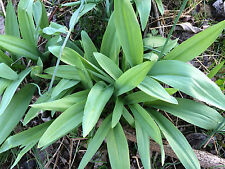 50 small  ramps(Allium tricoccum)