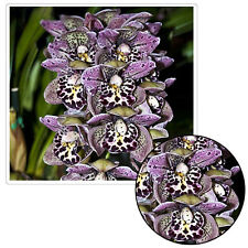 100PCS Leopard Cymbidium Orchid Flower Seeds Indoor Potted Home Garden Decor