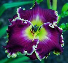 Daylily Seeds (Violet Becomes You x Buffalo Thunder) (8) Seeds