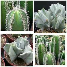 100 semi in miscuglio di Lemaireocereus mix ,piante grasse,seed cactus mix