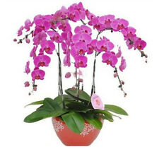 FD1210 Phalaenopsis Bonsai Adorable Butterfly Orchid Flower Seeds *10PCs Seeds