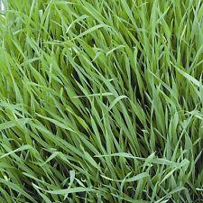 Green Manure Seeds - Forage Rye - 50gms