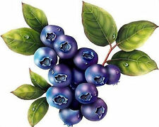 Highbush Blueberry Plant -50 Seeds- High Yielding Blueberries Perennial Bushes