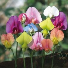 Flower seed - Sweet Pea Lathyrus Lord Anson's Bitter Vetch Everlasting